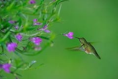 Female rufous Hummingbird Stock Photos