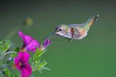 Female Rufous Hummingbird Royalty Free Stock Photo