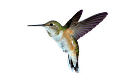 Female rufous Hummingbird. Hovering in air Royalty Free Stock Photo
