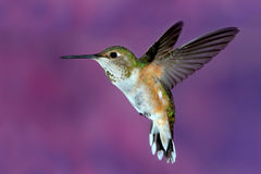 Female rufous Hummingbird. Hovering in air Royalty Free Stock Image