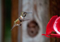Female Rufous Hummingbird Royalty Free Stock Images
