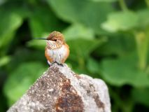 Female Rufous Hummingbird looking left sitting on a granite rock Stock Photo