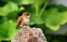 Female Rufous Hummingbird Resting on a Granite Rock Stock Photos