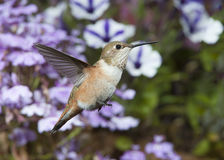 Female Rufous Hummingbird Royalty Free Stock Photos