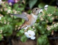 Female Rufous Hummingbird Royalty Free Stock Images