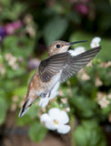 Female Rufous Hummingbird Royalty Free Stock Photos