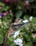 Female Rufous Hummingbird Stock Images