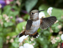 Female Rufous Hummingbird Stock Image