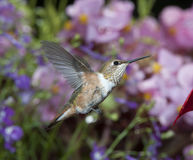 Female Rufous Hummingbird Royalty Free Stock Image