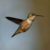 Female Rufous Hummingbird Royalty Free Stock Image