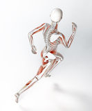 Female runner anatomy Royalty Free Stock Images