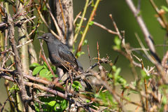 Female Rusty Blackbird Royalty Free Stock Photography