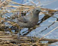 Female Rusty Blackbird stock photo