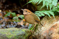 Female rusty-naped pitta Royalty Free Stock Images