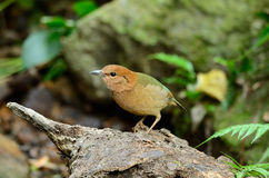 Female rusty-naped pitta Stock Photography