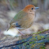 Female Rusty-naped Pitta Royalty Free Stock Photography