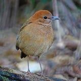 Female Rusty-naped Pitta Stock Photo