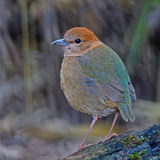 Female Rusty-naped Pitta Stock Images