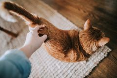 Female`s hand petting a cute domestic ginger cat royalty free stock image