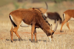 Female sable antelope Stock Images