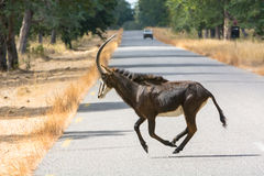 Female sable antelope running Royalty Free Stock Images