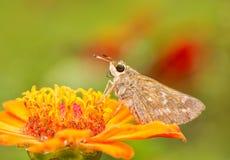 Female Sachem Skipper butterfly Royalty Free Stock Image