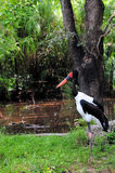 Female Saddle-billed Stork Stock Photography