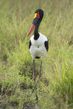 Female Saddle billed Stork (Ephippiorhynchus senegalensis), Sou Royalty Free Stock Images