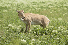 Female Saiga Stock Photography
