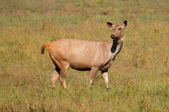 Female sambar deer Stock Images