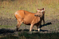 Female sambar deer Royalty Free Stock Photos