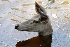 The Female Sambar deer Rusa unicolor. Mammals Stock Photos