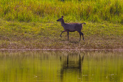 Female Sambar deer(Rusa unicolor ) Royalty Free Stock Photography