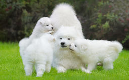 Female Samoyed dog with puppies. Playful on grass Stock Images
