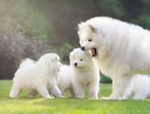 Female Samoyed dog with puppies. Female Samoyed dog with puppies are shining in light low sun Royalty Free Stock Photos