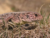 Sand lizard - Lacerta agilis. Female of Sand lizard, Lacerta agilis, close-up to its head Stock Image