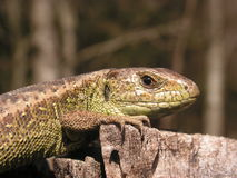 Sand lizard - Lacerta agilis Stock Photography