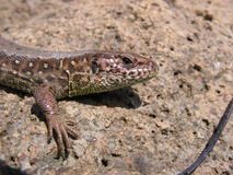 Sand lizard - Lacerta agilis. Female of Sand lizard, Lacerta agilis, close-up to its head Stock Photo