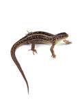 Female of sand lizard Lacerta agilis isolated on white. Background stock photography