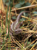 Female Sand Lizard Royalty Free Stock Images