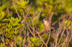 Female Sardinian Warbler on Shrubbery Royalty Free Stock Images