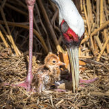 Female Sarus Crane protecting her just hatched baby chick Stock Photography