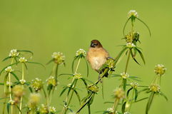 Female Scaly Breasted Munia。 Royalty Free Stock Photography