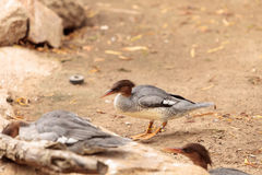 Female Scaly-sided Merganser Mergus squamatus. With a red head is found in the forests of eastern Asia Stock Image