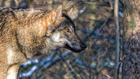 Female Scandinavian gray wolf in winter coat Stock Photography