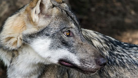 Female Scandinavian wolf looking behind its back. Female Scandinavian wolf (Canis lupus lupus) with summer coat looking behind its back at something to the right Royalty Free Stock Photo