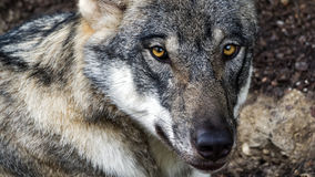 Female Scandinavian wolf in summer coat. Female Scandinavian wolf (Canis lupus lupus) with summer coat looking at the camera Stock Images