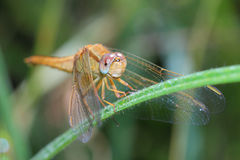 Female of Scarlet Dragonfly Stock Photos