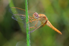 Female of Scarlet Dragonfly Royalty Free Stock Photo