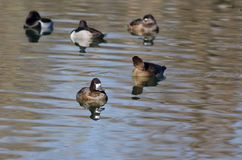 Female Scaup Resting on the Still Pond Stock Photos